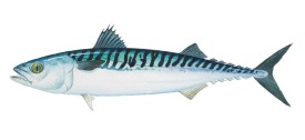 atlantic mackerel image