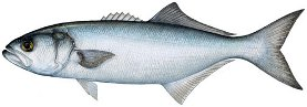 bluefish image