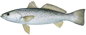 weakfish image
